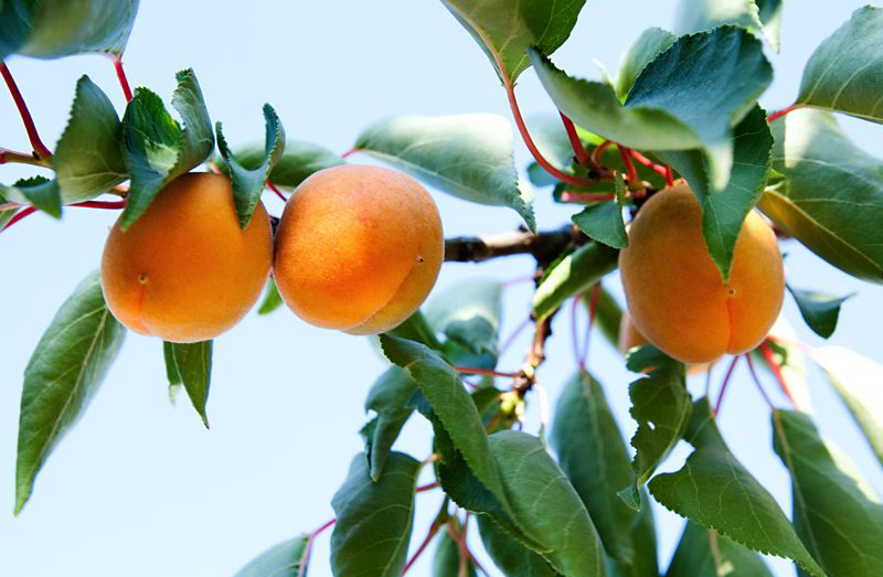 huile d-abricots