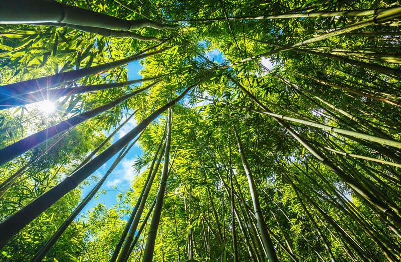 extrait de bambou detoxifiant