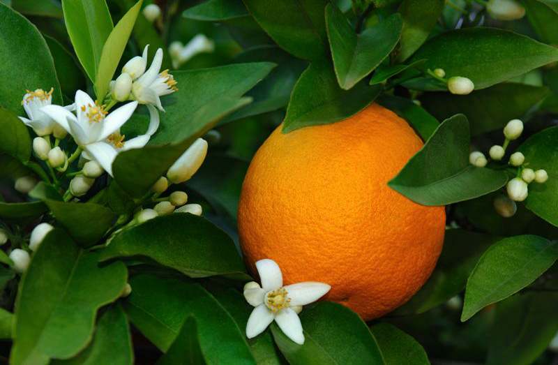 hydrolat de fleurs d-oranger