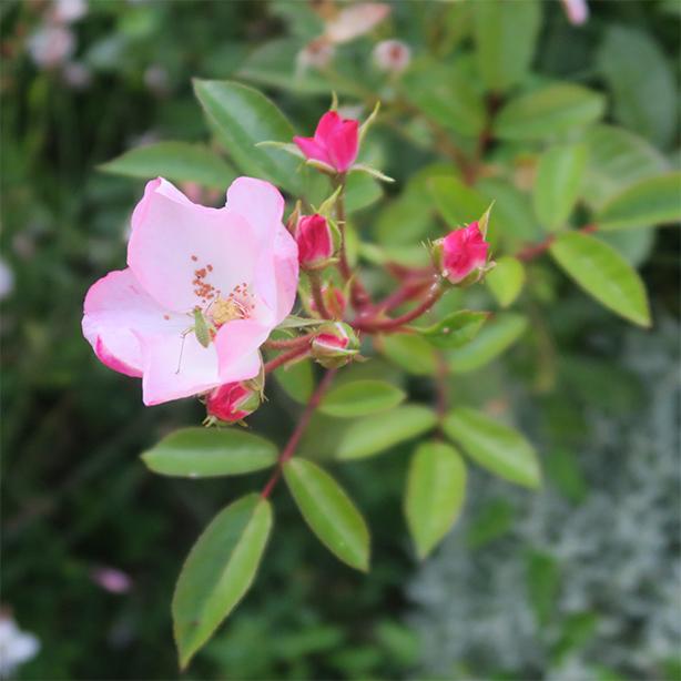 huile rose musquée pour soins visage bio
